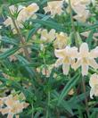 Found in a weedy filed in Ramona, this monkey flower has wonderful azalea like flowers.