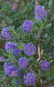 A delicious looking Ceanothus Mountain Haze