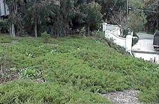 Pigeon Point on an installation in Malibu, no irrigation. You really do not need much irrigation. This was a full blown Coastal Commission mitigation we did and they included it on their tour. - grid24_6