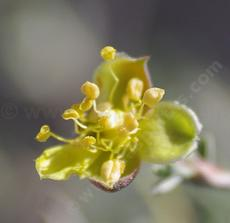 Blackbrush (Coleogyne ramosissima) flower