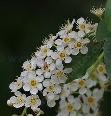 Prunus virginiana demissa, Western Chokecherry flowers