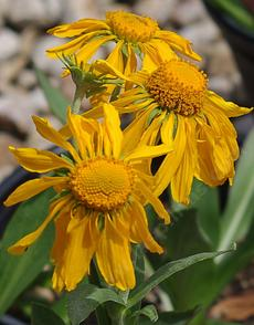 Orange sneezeweed, Owlclaws has a rather weird flower. - grid24_6