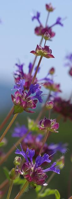 Knock your socks off Sage flowers, Salvia Celestial Blue - grid24_6