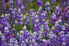 Field Lupine, Lupinus nanus, and they are fragrant  - grid24_6