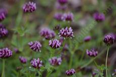 Trifolium variegatum. White-Top Clover is really rather purple. - grid24_6