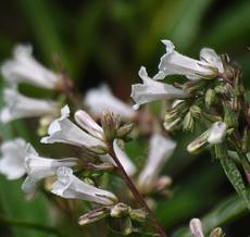 Yerba Santa (Eriodictyon californicum) with white flowers