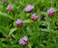 Monardella odoratissima Mountain Coyote Mint, Mountain Beebalm, or Western Pennyroyal, and it smells good - grid24_6