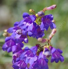 Penstemon azureus, deep blue flowers - grid24_6