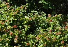 Physocarpus capitatus Ninebark, flowers are white, seed pods are bright red. - grid24_6