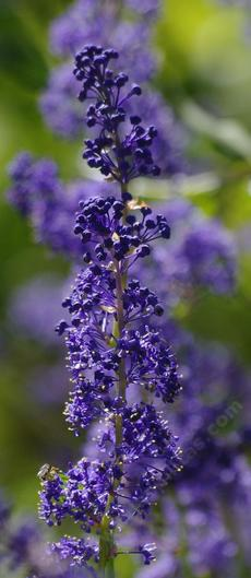 or maybe Ceanothus  indigo blue? Grape soda Ceanothus? - grid24_6