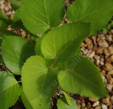 Aralia californica elk clover leaves