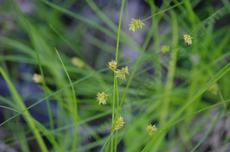 Carex pansa (sanddune sedge)