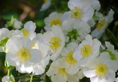 Bush Anemone,  Carpenteria californica is a nice clean bush that explodes into flower. Try this plant in a container or large pot if you have a deck or patio. - grid24_6