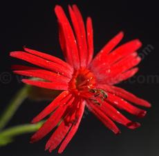 Silene laciniata angustifolia,  Red Catchfly with it's red star