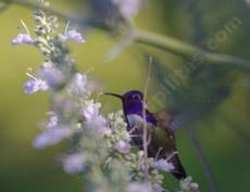 A Costa hummingbird on a compact white sage. - grid24_6