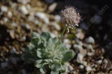 Eriogonum ovalifolium Cushion Buckwheat grows into a little mat. - grid24_6