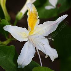 Western Azalea flower, this one was in our back yard.