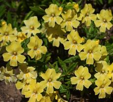 Diplacus longiflorus is sometimes called Mimulus aurantiacus, which is what they call almost all the monkey flowers. It's like everyone is Bob and Mary. - grid24_6