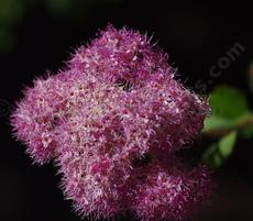 In Santa Margarita Mountain Spiraea flowers in part shade and regular water. Should be drought tolerate at places like Tahoe or Big Bear.