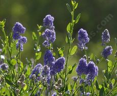 Ceanothus Skylark has fragrant blue flowers! - grid24_6