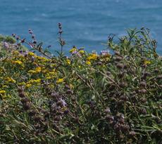 Here is Salvia mellifera repens on a coastal bluff. - grid24_6
