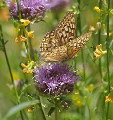 Monardella antonia with Fritilary Butterfly - grid24_6