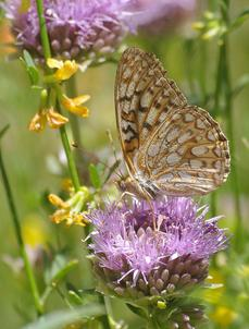 A Callippe Fritillary Butterfly, Speyeria callippe on a Monardella antonina - grid24_6