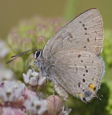 California Hairstreak, Western Hairstreak, Satyrium californica - grid24_6