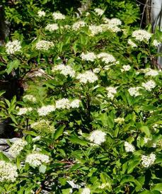 Red  stem dogwood is also known as Cornus sericea subsp. sericea. These plants are in flower in the Sierras - grid24_6