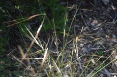 Purple needle grass - grid24_6
