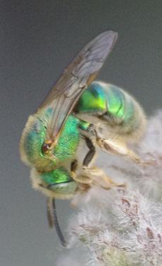 Green Sweat Bee, Agapostemon - grid24_6