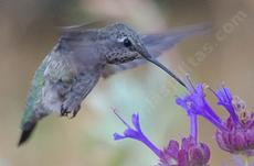 An Anna Hummingbird on Salvia Celestial Blue. - grid24_6