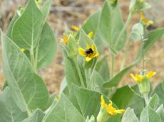 Southern Mule ears with Bumblebee.