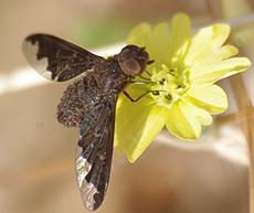 Sinuous Bee Fly (Hemipenthes sinuosa)
