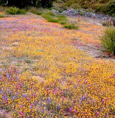 If the weeds are not there, California is amazing! When an annual native plant is done flowering it almost disappears and is nearly fire proof. Large areas of California used to look like this in spring. Can you imagine what inner Los Angeles could look like if it was still natural? - grid24_6