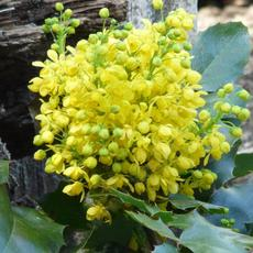 Creeping Mahonia, Mahpnia repens flowers
