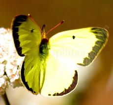 Colias harfordii, Harford's Sulphur on a California Buckwheat - grid24_6