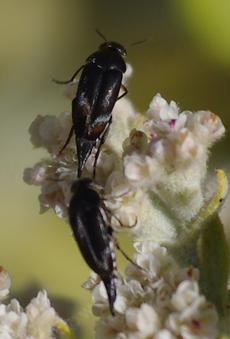 Two Tumbling flower beetles, Mordella hubbsi, on Buckwheat flowers. These little beetles can predate a plant or pollinate a plant. - grid24_6