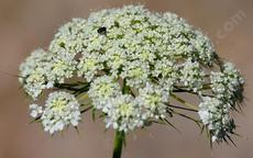 American Wild Carrot. This one was in a pot and very happy so the flowers are very large. In the wild they can be  a centimeter across on a little dinky plant.  - grid24_6