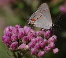 Salt Marsh Fleabane with a Gray hairstreak, Strymon melinus - grid24_6