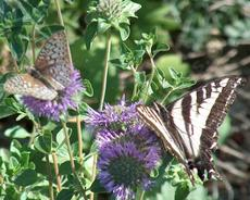 Here a fritillary, and a pale swallowtail, that are sharing a plant of Monardella subglabra, Mint Bush, a fragrant subshrub. - grid24_6