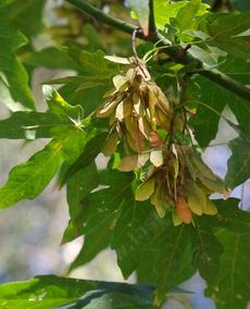 The winged seeds of Big Leaf Maple - grid24_6