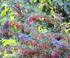 Three Western Bluebirds, and a female Western Tanager enjoying breakfast in a Mahonia nevinii. This Barberry is very slow, but the wildlife will show up as soon as the first flower or berry shows up in the garden. - grid24_6