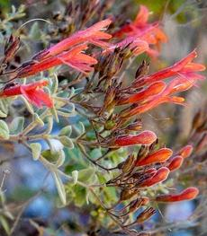 Red beardtongue is designed for hummingbirds