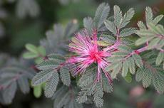 Calliandra eriophylla, Fairy Duster. with leaves. - grid24_6