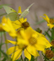 An Orange Sulfur coming in for a landing on a Bidens flower. - grid24_6
