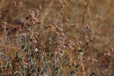Ash leaf buckwheat with the pink flowers turning rust in fall - grid24_6