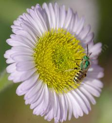 This green Sweat Bee is beautiful against the lavender of Seaside daisy - grid24_6