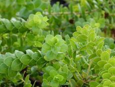 Arctostaphylos purissima, Burton Mesa Groundcover or Lompoc Manzanita is becoming one of our favorite low ground covers. It is generally less than a foot tall, but can mound to 2 ft. Loves beach sand, tolerates adobe soil. - grid24_6