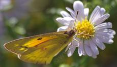Alfalfa or Orange Sulfur Butterfly, Colias eurytheme on Aster chilensis - grid24_6